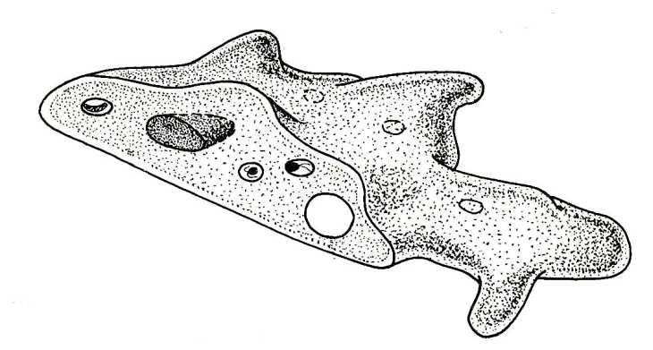 Structure of an amoeba