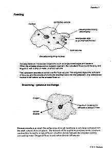 Amoeba Feeding & Breathing