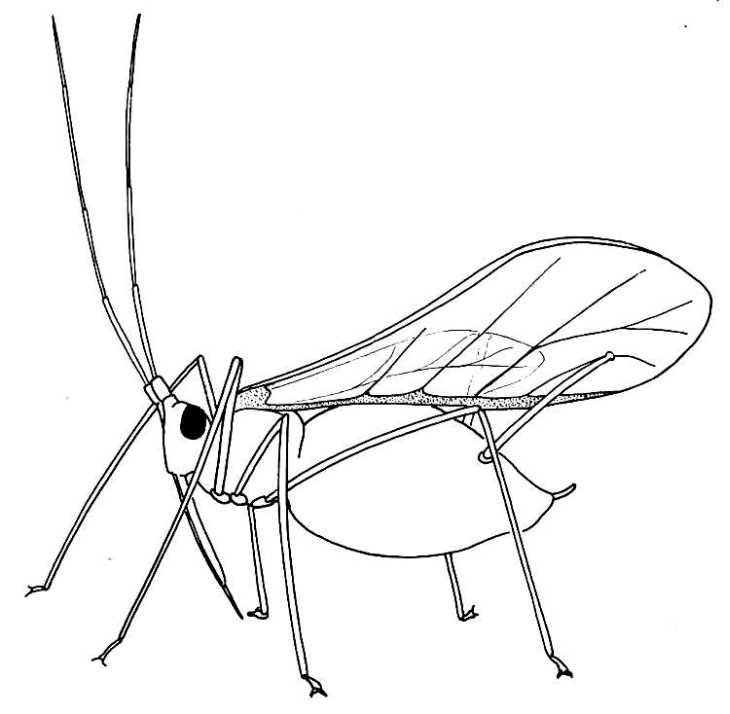 Line Drawing Insects : Biological drawings insects winged aphid biology