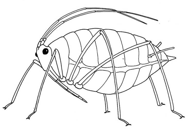 Wingless Aphid