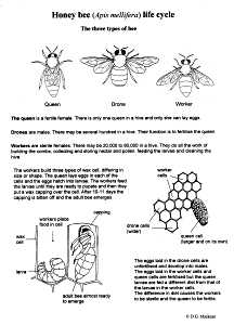 Honey Bee Life-Cycle