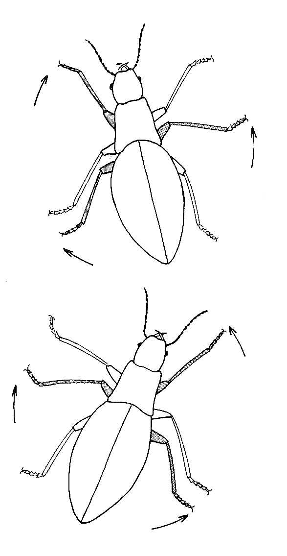Beetle Walking.  Movement of Limbs