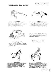 Biology. Birds: Structure and Function. Information & drawings by ...