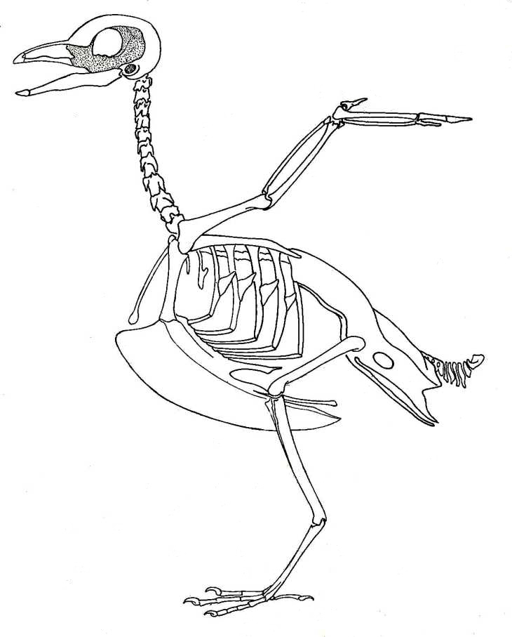 Biological drawings. Bird Skeleton. Birds. Structure & Function ...