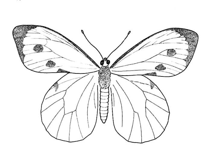 Butterfly Life-Cycle Adult 1