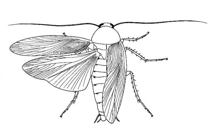 biological drawings insects cockroach (periplaneta americana Cockroach Heart Diagram cockroach (periplaneta americana)
