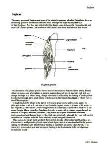 Biology protista amoeba malaria paramecium spirogyra euglena structure ccuart Images