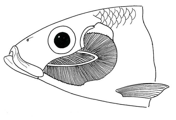 Fish Gills Biological Drawings Of Characteristics Of Fish Biology