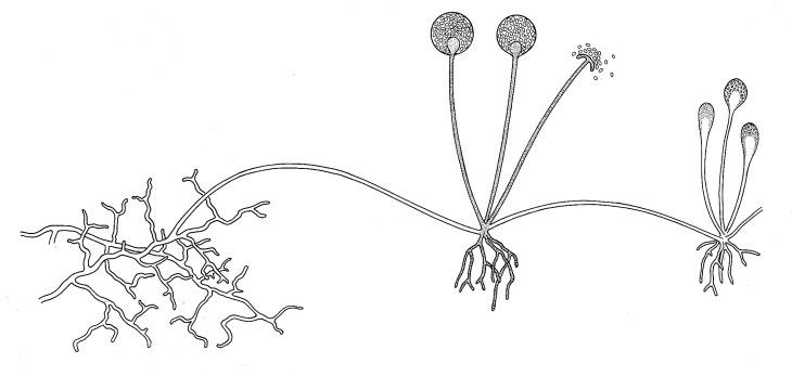 Rhizopus. Illustrations of Fungi. Biology Teaching Resources by D G Mackean