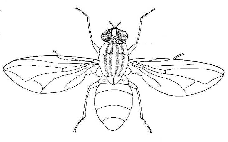 biological drawings insects adult housefly biology teaching House Diagram adult housefly
