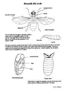 Housefly Life-Cycle 1
