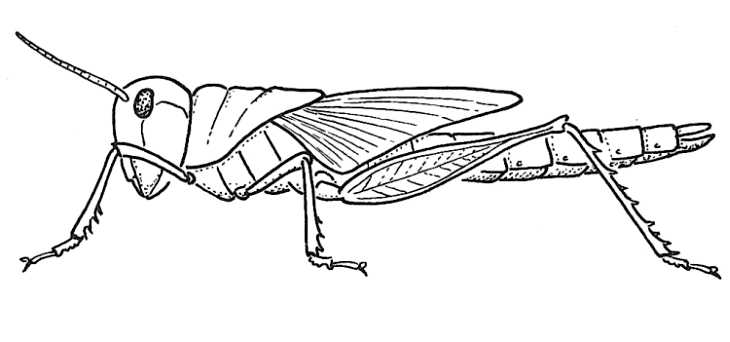 how to draw a locust easy