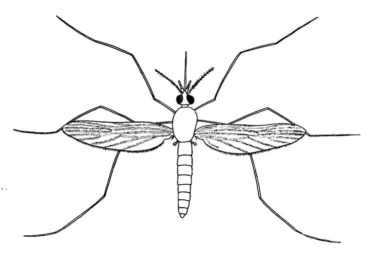 Anopheles mosquito drawing - photo#6