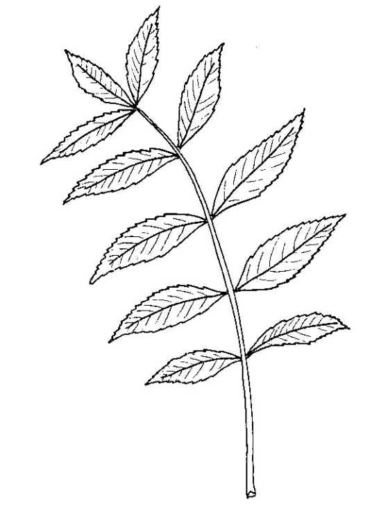 Drawing of ash leaf
