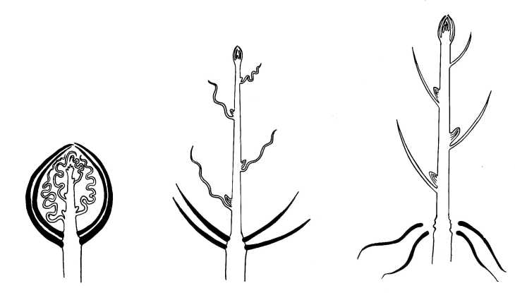 biological drawing  diagram of bud growth  resources for