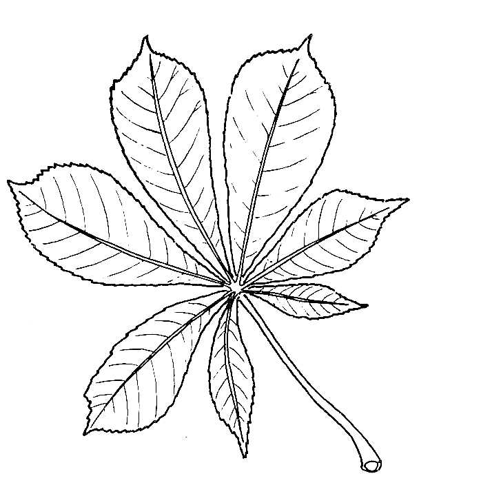 Drawing of Horse-chestnut Leaf