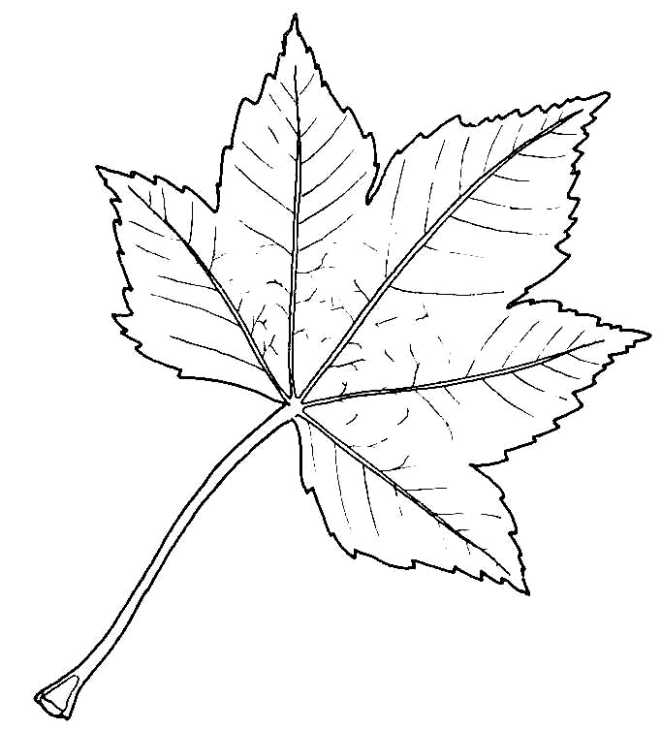Sycamore leaf next drawing