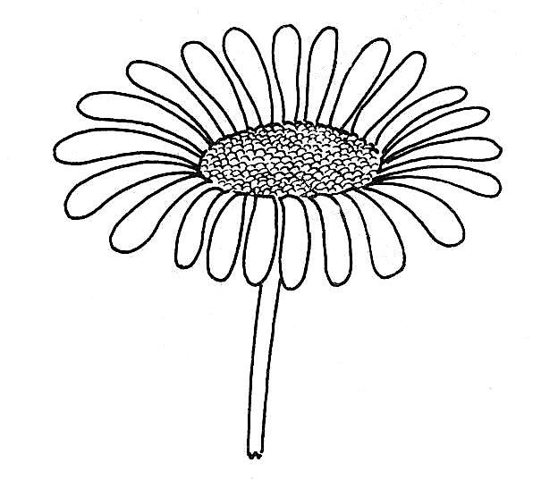 Daisy Flower Line Drawing : Daisy flower line drawing imgkid the image kid