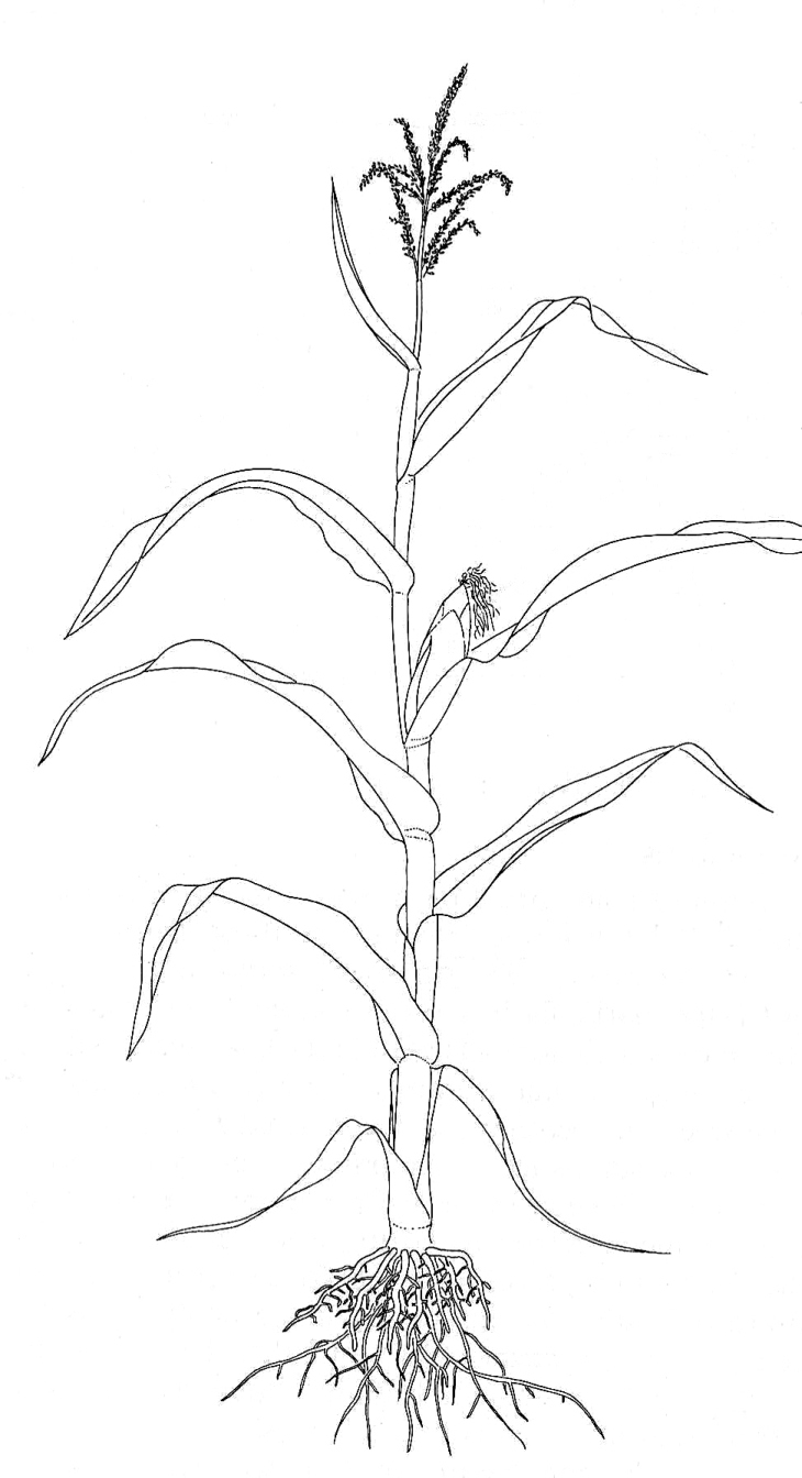 Flower Plant Line Drawing : Maize zea mays biological drawing resources for