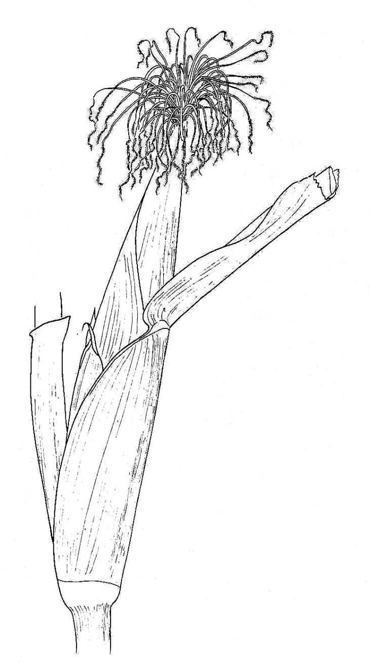 Maize, Female Inflorescence