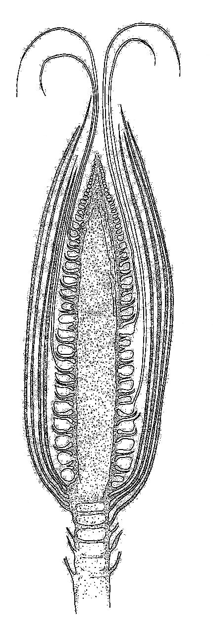 Maize, Section Through Female Inflorescence