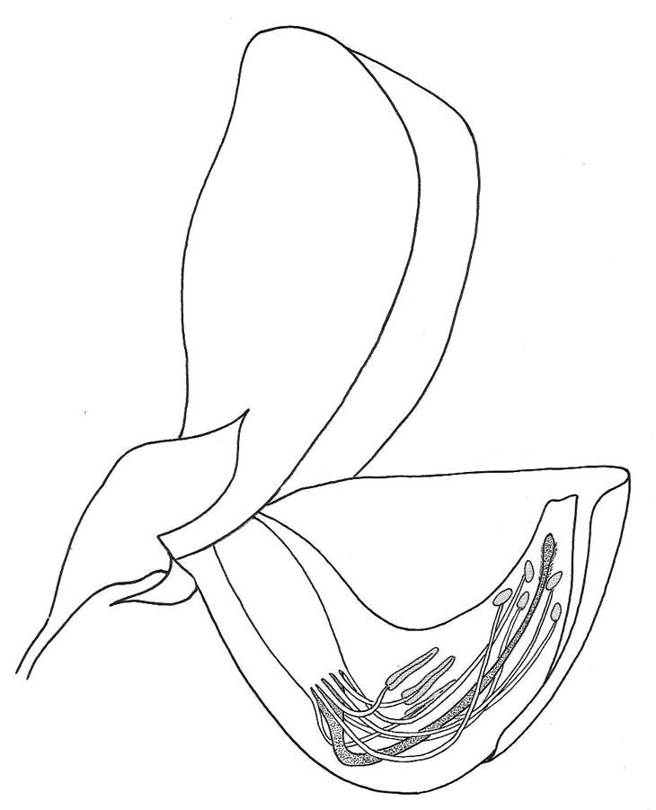 Crotalaria retusa flower reproductive organs biological drawings crotalaria retusa flower reproductive organs ccuart Images