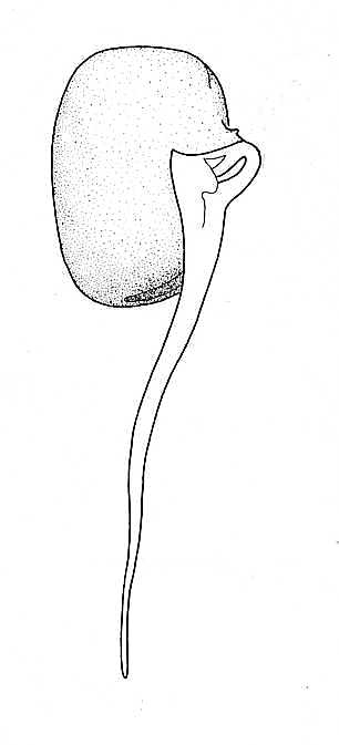 biological drawing  broad bean  germination stage 2  resources for biology teachers by d g mackean