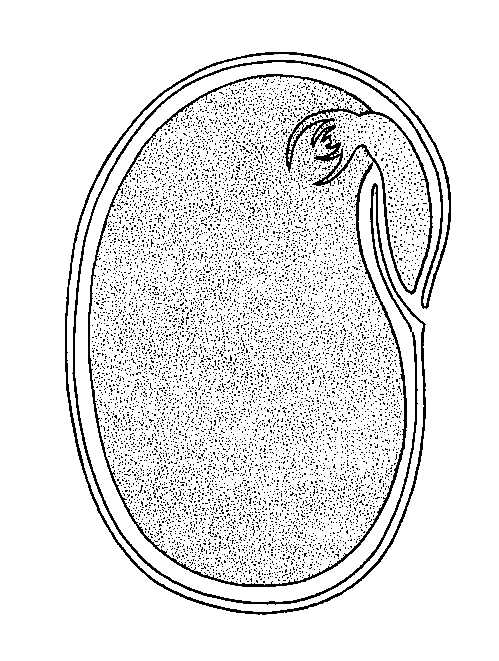 Longitudinal Section through Seed, large