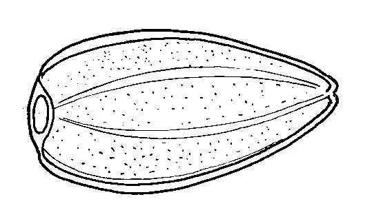 Biological Drawing Diagram Of Sunflower Fruit Resources For