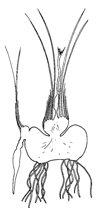 Section Through Crocus Corm