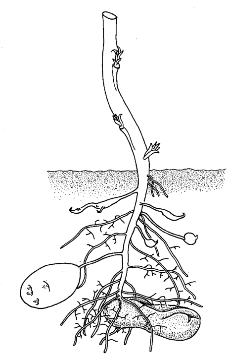 Potato Plant With Tubers | Biological drawings of Vegetative ...