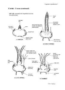 Corms: Crocus continued