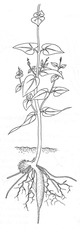New Yam Plant Growing Plant Drawing