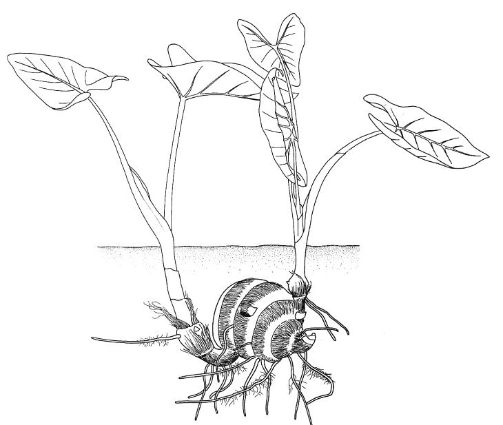 biological drawing of xanthosoma corm in july vegetative