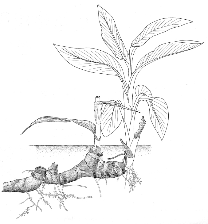 Lily Plant Drawing Rhizome Canna Lily
