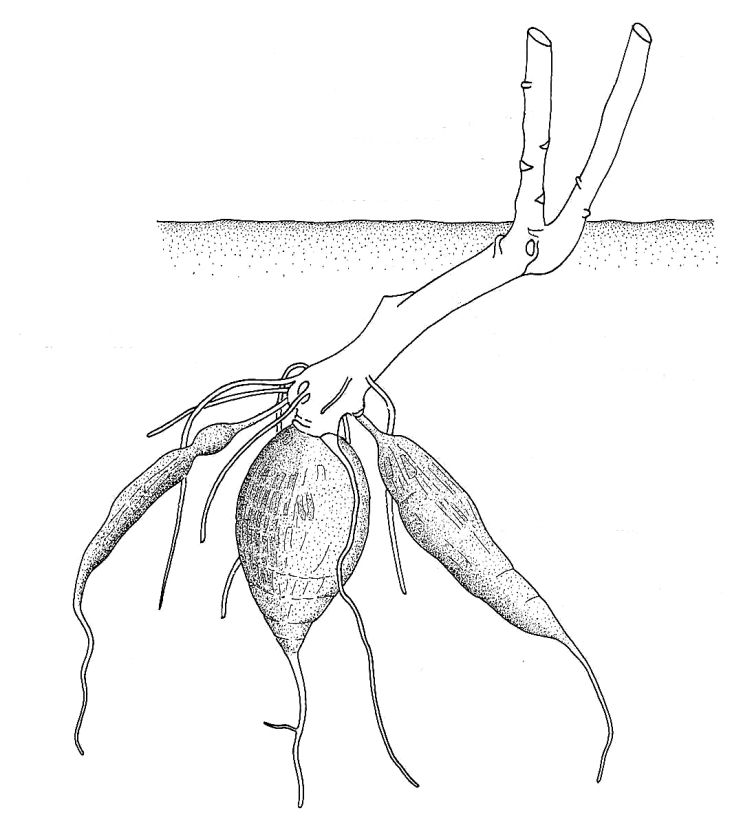 Biological drawing of Root tuber of Cassava Plant ...