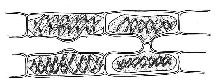Biological drawing spirogyra conjugation 1 resources for biology spirogyra conjugation 1 ccuart Gallery