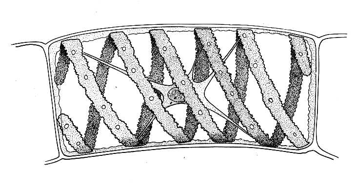 Spirogyra, Single Cell