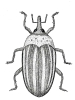 Weevil illustration