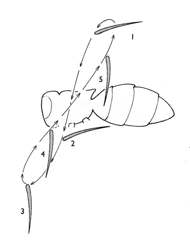 Insect Wing Movements